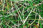 Борошниста роса хвороба газону