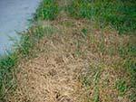 хвороба газона пітіозная коренева гниль