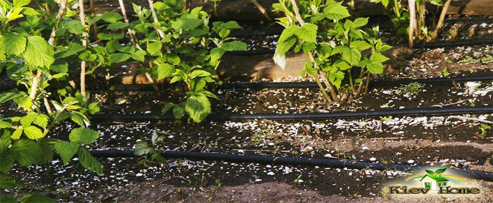 Капельный полив малины