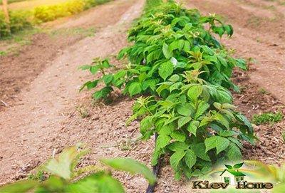 Орошение кустов малины на поле