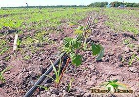 Капельный полив кустов малины на поле