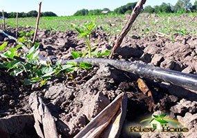 Орошение поля с саженцами малины